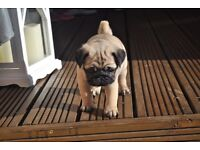 Stunning pug puppy AVAILABLE NEXT WEEK