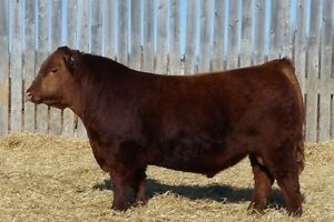 Yearling Red Angus and Yearling Simmental bulls