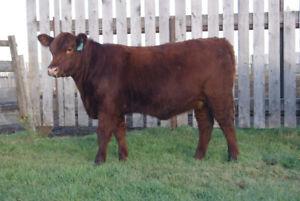 Registered Purebred Open Heifers For Sale