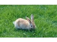 Baby rabbits lop ear cross