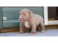 Bully dog | Dogs & Puppies for Sale - Gumtree