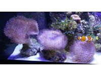 Sarcophyton Leather Soft Corals (various sizes available)