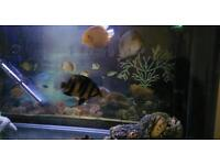 Tiger Fish Eating Well 7 To 8Cms