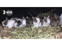 Double Maned Lionhead Bunnies/Rabbits Mixed Litter
