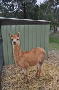 Alpacas for Sale 1 Male $200 and 1 Female $300 Hurstbridge Nillumbik Area Preview