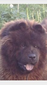 Stunning Pedigree Male Chow Chow For Sale
