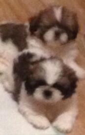 Full pedigree shih tzu puppies.