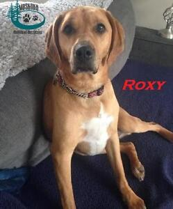 """Adult Female Dog - Black Mouth Cur: """"Roxy - Loves Squeaky Toys!"""""""