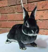 Mini rex bunnies for sale Cranbourne Casey Area Preview
