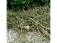 Branches off a felled pine tree could be cut into logs