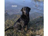 Labrador Bitch Pup (KC Registered)