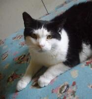 """Adult Male Cat - Domestic Short Hair-black and white: """"Aury"""""""