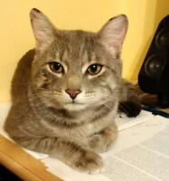 "Adult Male Cat - Tabby - Grey: ""Polo"""