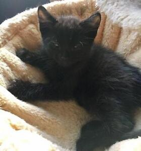 "Baby Male Cat - Domestic Short Hair: ""Nuit"""