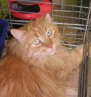 "Adult Male Cat - Domestic Long Hair: ""Todd Deacon 16 (PN 31)"""