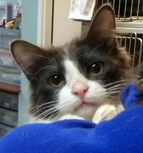"""Young Male Cat - Domestic Short Hair: """"DUDLEY THE DUDE"""""""