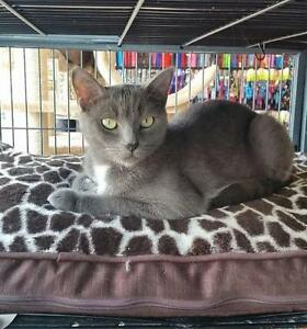Adult Female  - Russian Blue