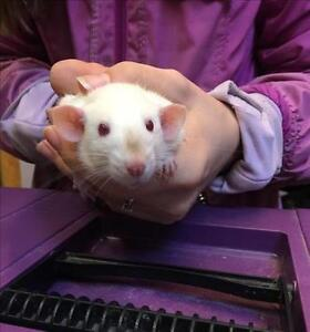 """Baby Male Small & Furry - Rat: """"Barry With Bruce"""""""
