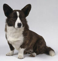 WANTED: Corgi Adult or Puppy