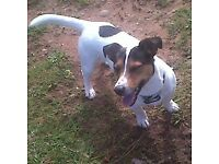 DOG,JACK RUSSELL.