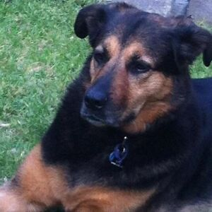 WANTED TO BUY.   ROTTI X GERMAN SHEPHERD PUPPY OR ADULT Gawler East Gawler Area Preview