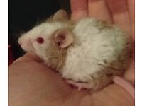 male mouse