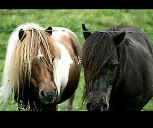 Two bonded mini horses in need of a home