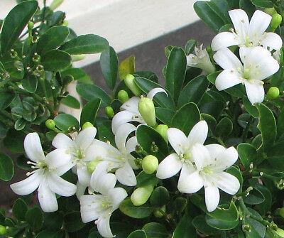 Orange Jasmine-Honey Bush Fragrance Flower Plant for Home Garden Courtyard Grow ()