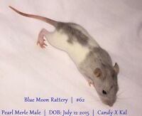 Baby Rats for sale! Male & Female. Pearl Merle & Cinnamon!