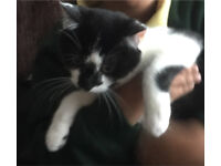 Female adorable Black and White kitten