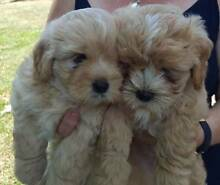 Cavoodle X Puppies Gulliver Townsville City Preview