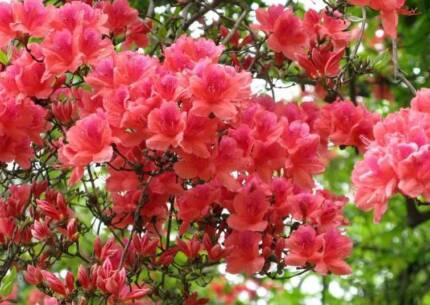 Jac rare plants -- rhododendron oldhami -- sun tolerant azalea Greenbank Logan Area Preview