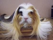 Looking for Purebred Guinea Pig Sydney City Inner Sydney Preview