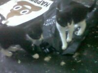 2 black and white kittens one female one male 7mnth old (need to go together)