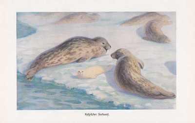 Kaspische Robbe Pusa caspica Seehund Farbdruck von 1912 Robben Seehunde