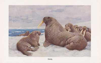 Walross Odobenus rosmarus Walroß Farbdruck von 1912 Wilhelm Kuhnert