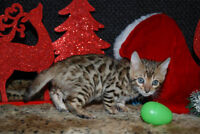 TICA Registered Bengal Babies Available at Christmas!