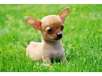 Chihuahua pup for sale boy