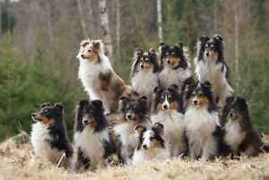 Looking for Sheltie Pup or Young Dog