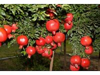 For Sale two Pomegranate Plants grown from Turkish seeds 6-7 inches high very young