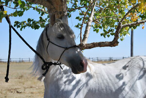 PRE andalusian stallion