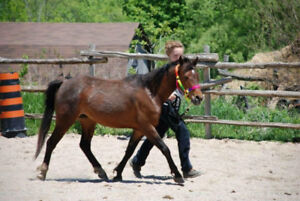Hackney pony mare for sale