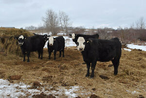 Bred Heifers and Second Calvers