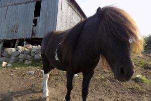 Mini Horse Stallion