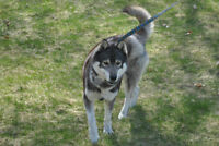 Beautifull purebreed Siberian Husky male