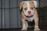 Bulldog Old Bulldogge