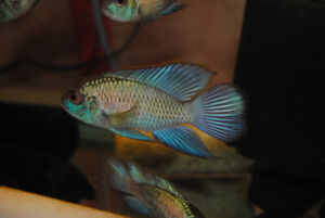 Electric Blue Acara Super Nice