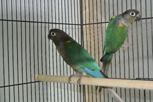SPECIAL Male Turquoise Conure