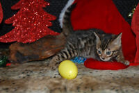 Christmas Bengals - TICA Registered.