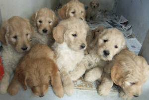 Goldendoodle and  Golden Retriever pups for sale